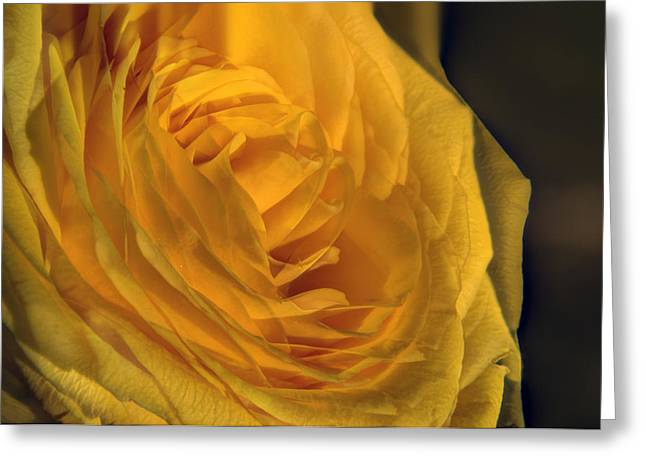 Rose Petals Greeting Cards - Whirls of a Yellow Rose Greeting Card by Douglas Barnett