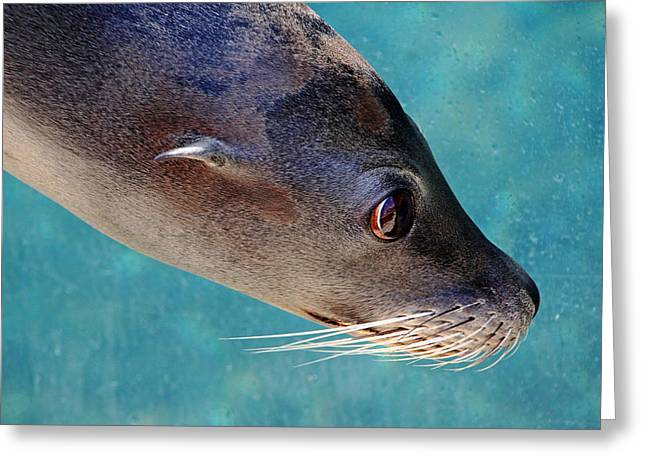 California Sea Lions Greeting Cards - Whiskers Greeting Card by Debbie Oppermann