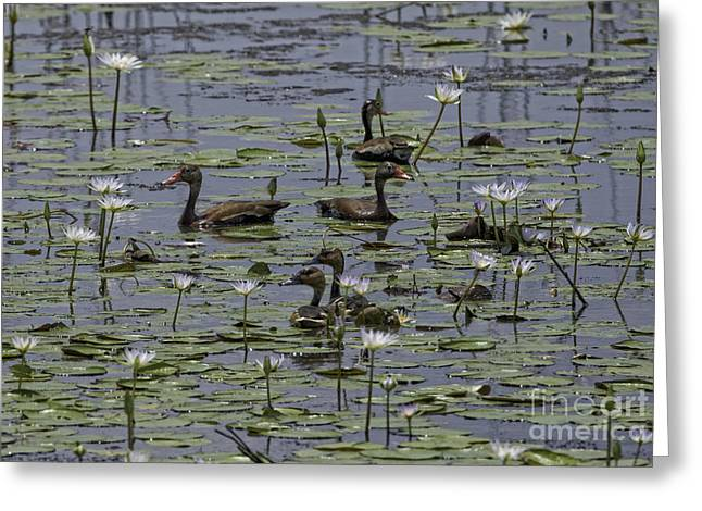 Wildlife Refuge. Greeting Cards - Whistlers in the Pond Lilies Greeting Card by Tim Moore