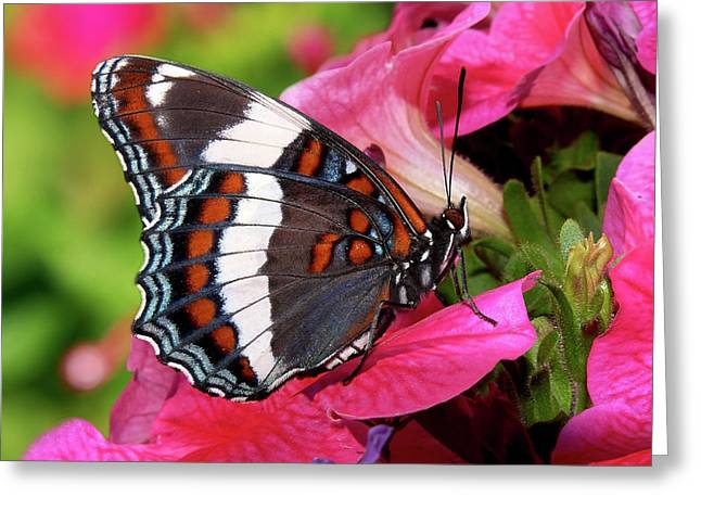 Animals And Insects Greeting Cards - White Admiral Butterfly On Pink Flowers Greeting Card by Christina Rollo