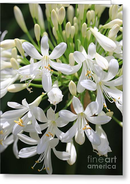 Agapanthus Greeting Cards - White Agapanthus Greeting Card by Carol Groenen