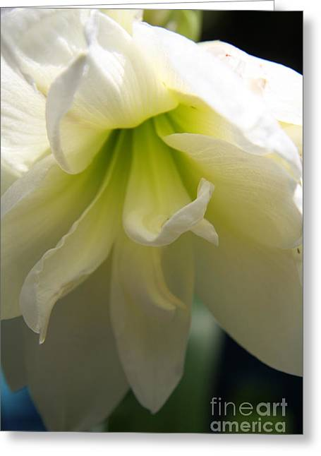 White Amarillys Close Up Greeting Card by Christiane Schulze Art And Photography