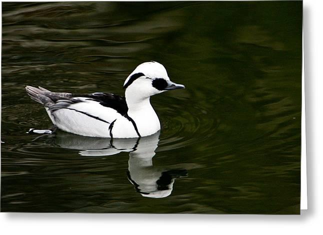 Merriment Greeting Cards - White and Black Duck Greeting Card by Douglas Barnett