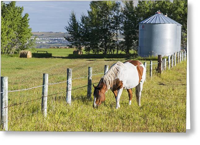 Hay Bales Greeting Cards - White And Brown Horse Grazing In Barbed Greeting Card by Michael Interisano