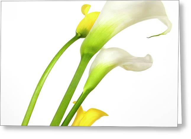 White Arums In Studio. Flowers. Greeting Card by Bernard Jaubert