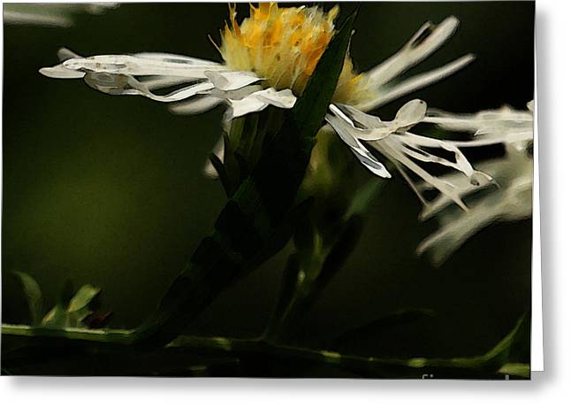 Aster Digital Art Greeting Cards - White Aster Greeting Card by Linda Knorr Shafer