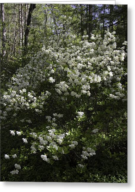 Dappled Sunlight Greeting Cards - White Azaleas at Happy Hollow Gardens Greeting Card by Teresa Mucha