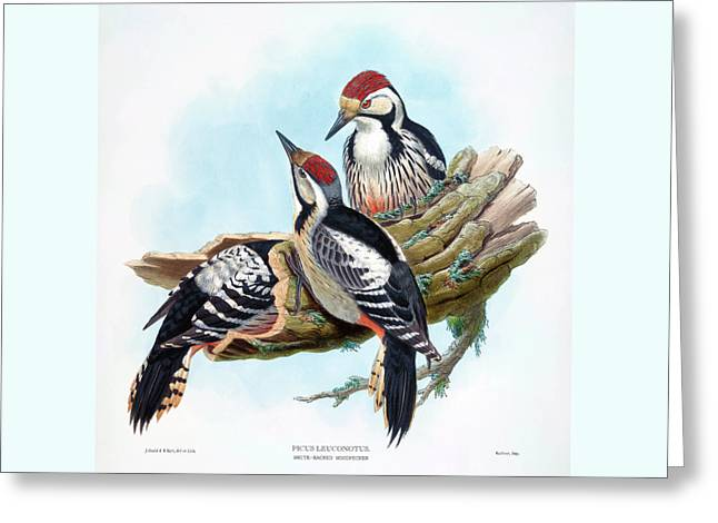 White Backed Woodpecker Antique Bird Print William Hart Birds Of Great Britain Greeting Card by John Gould - William Hart