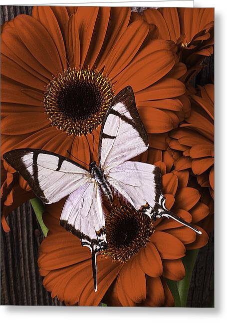 White Daises Greeting Cards - White Beauty On Red Daisy Greeting Card by Garry Gay