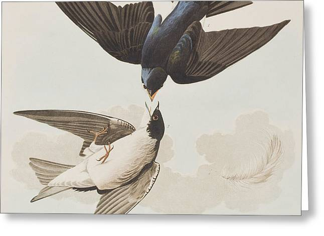 Bird Species Greeting Cards - White-bellied Swallow Greeting Card by John James Audubon