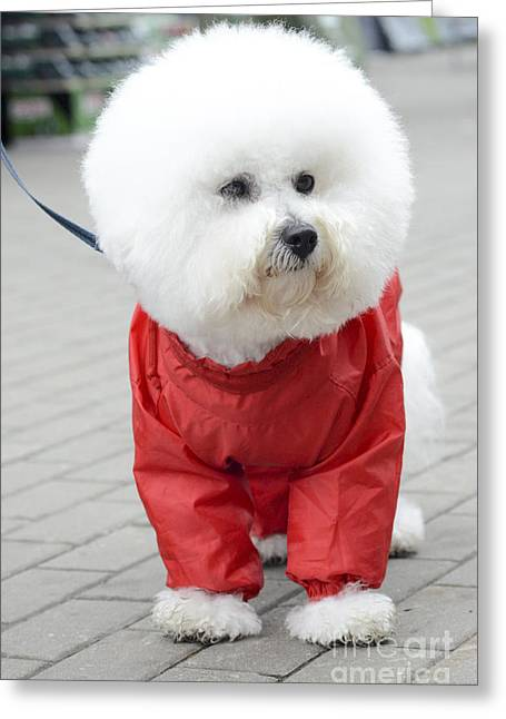 Toy Dog Greeting Cards - white Bichon Frise in a red raincoat  Greeting Card by Amir Paz