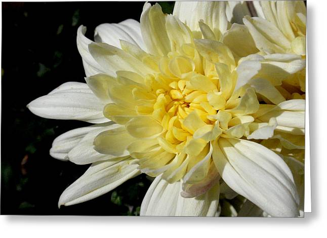 White Blossom Of Radiance Greeting Card by Edan Chapman