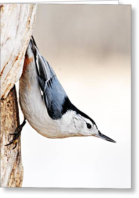 Larry Ricker Greeting Cards - White-Breasted Nuthatch Greeting Card by Larry Ricker