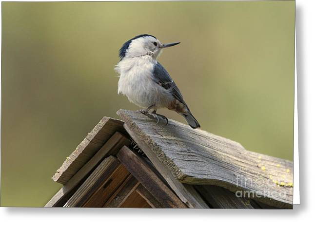 Birdhouses Greeting Cards - White-Breasted Nuthatch Greeting Card by Mike Dawson
