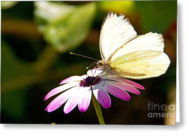Solar Plexus Chakra Greeting Cards - White Butterfly Greeting Card by Kelly Holm