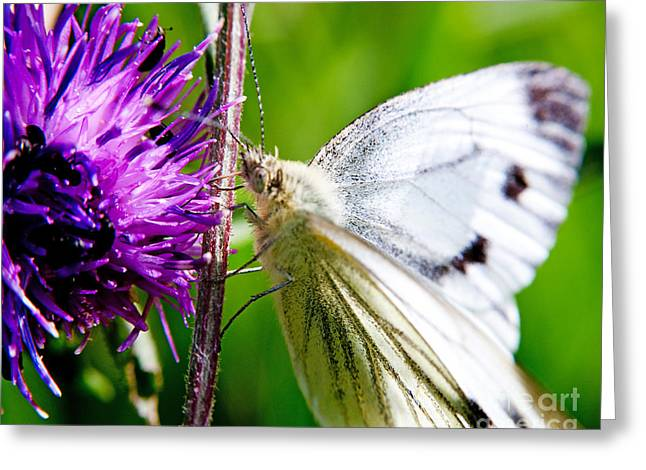 Nature Scene Greeting Cards - White Cabbage Butterfly Pieris rapae on Purple Thistle Flower Greeting Card by Chris Smith