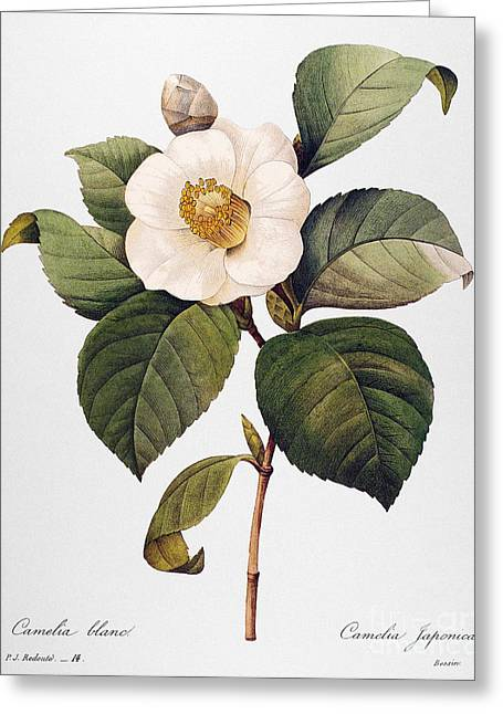 1833 Greeting Cards - White Camellia Greeting Card by Granger