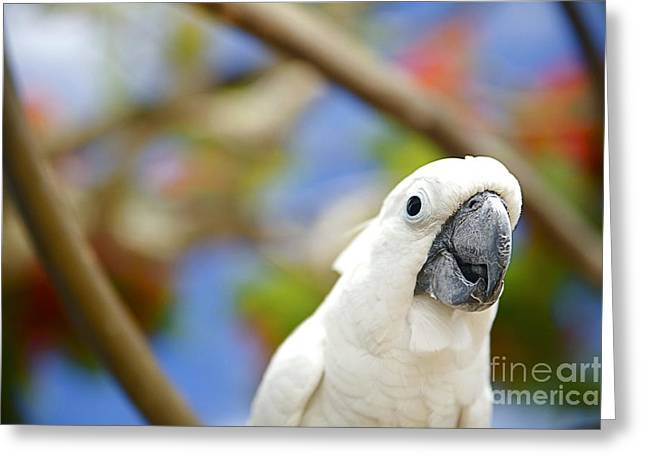 White Cockatoo Bird Greeting Card by Kicka Witte - Printscapes