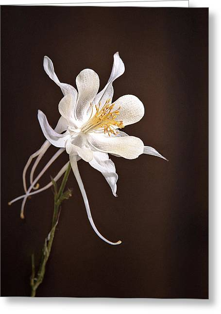 Bells Of Ireland Greeting Cards - White Columbine Greeting Card by James Steele