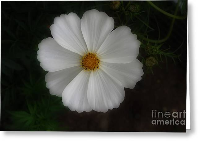 White Cosmo Flower Greeting Card by Kay Novy