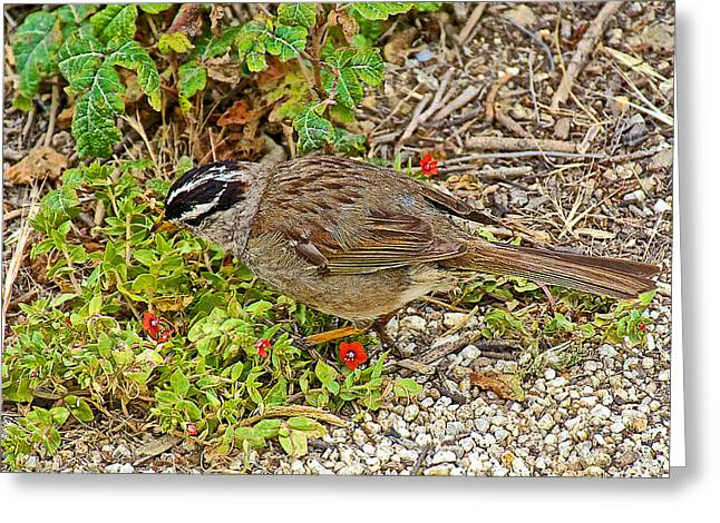 Point Lobos Reserve Greeting Cards - White-crowned Sparrow and Scarlet Pimpernel in Point Lobos State Reserve near Monterey-California  Greeting Card by Ruth Hager