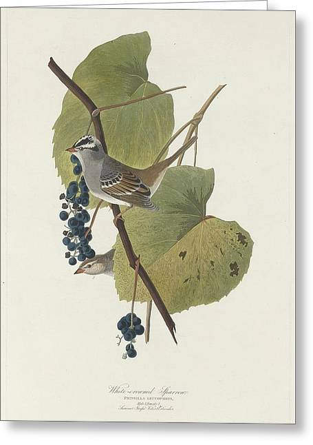 Small Bird Greeting Cards - White-Crowned Sparrow Greeting Card by John James Audubon