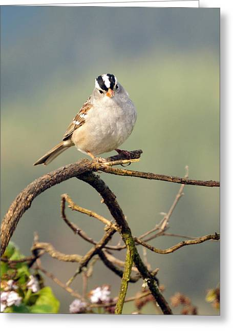 Feeding Birds Photographs Greeting Cards - White Crowned Sparrow Greeting Card by Laura Mountainspring