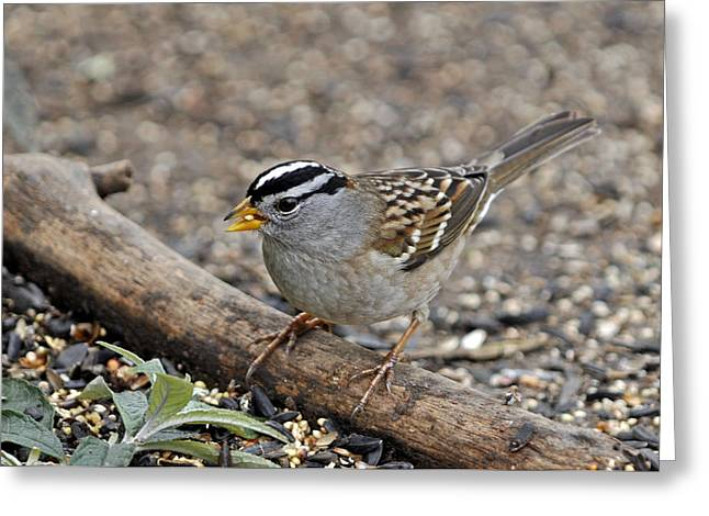 Sparrow Greeting Cards - White Crowned Sparrow with Seeds Greeting Card by Laura Mountainspring