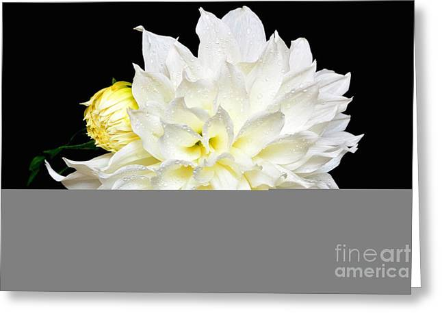 Flower Still Life Prints Greeting Cards - White Dahlia with Bud Greeting Card by Jeannie Rhode Photography