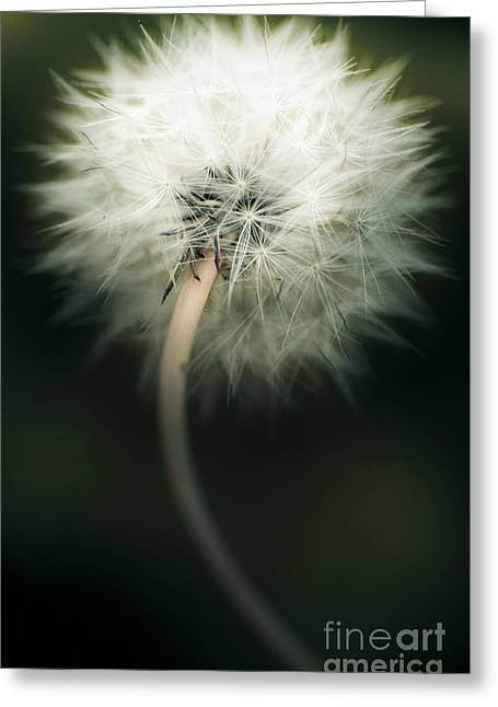White Dandelion Greeting Card by Jorgo Photography - Wall Art Gallery