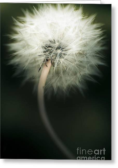 Achene Greeting Cards - White Dandelion Greeting Card by Ryan Jorgensen