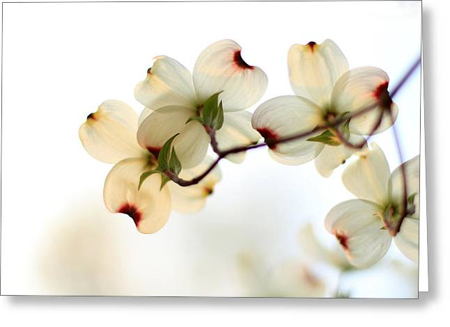 Indiana Dogwood Trees Greeting Cards - White Dogwood Flower 2 Greeting Card by Andrea Kappler