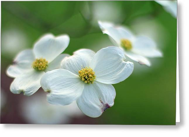 Indiana Dogwood Trees Greeting Cards - White Dogwood Flower Greeting Card by Andrea Kappler