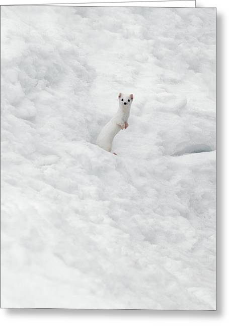 White Ermine  2 Greeting Card by Leland D Howard