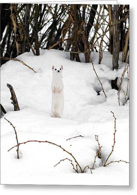 White Ermine Greeting Card by Leland D Howard