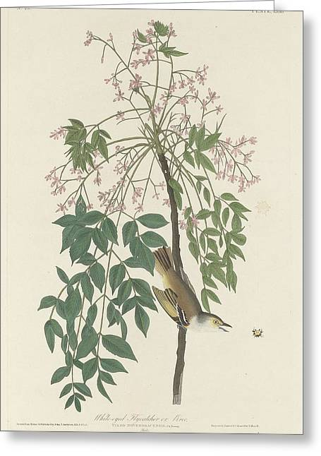 Small Bird Greeting Cards - White-Eyed Flycatcher Greeting Card by John James Audubon