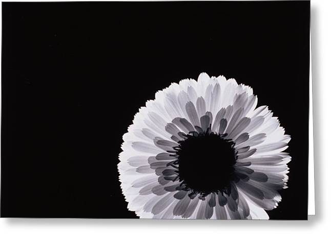 Back Lighting Greeting Cards - White Flower Greeting Card by Graeme Harris