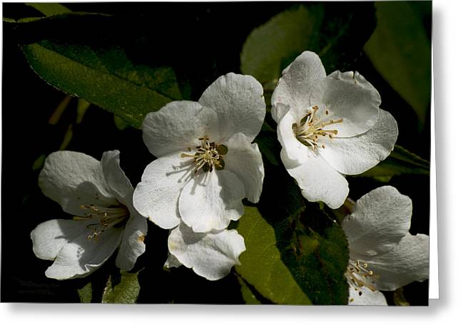 Duke Island Park Greeting Cards - White Flowering Tree Greeting Card by Warren M Gray
