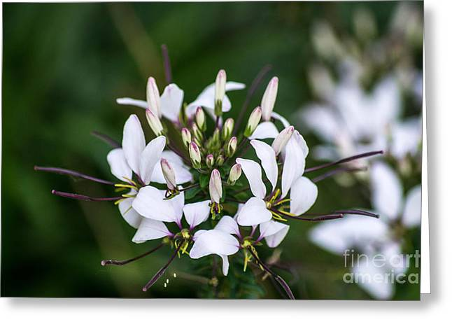 Landscape Framed Prints Greeting Cards - White Flowers Greeting Card by Chris Baboolal