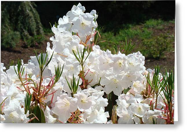White Flowers Sunlit Rhododendrons Rhodies Baslee Troutman Greeting Card by Baslee Troutman