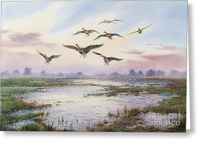 Landing Paintings Greeting Cards - White-Fronted Geese Alighting Greeting Card by Carl Donner