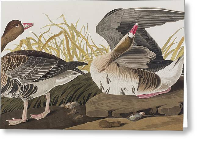 Preening Greeting Cards - White-fronted Goose Greeting Card by John James Audubon