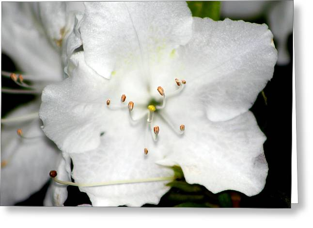 Gardenias Greeting Cards - White Gardenia  Greeting Card by Evelyn Patrick