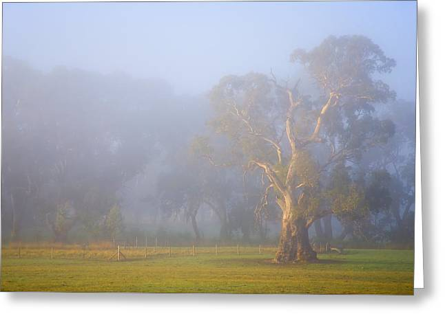 Gum Trees Greeting Cards - White Gum Morning Greeting Card by Mike  Dawson