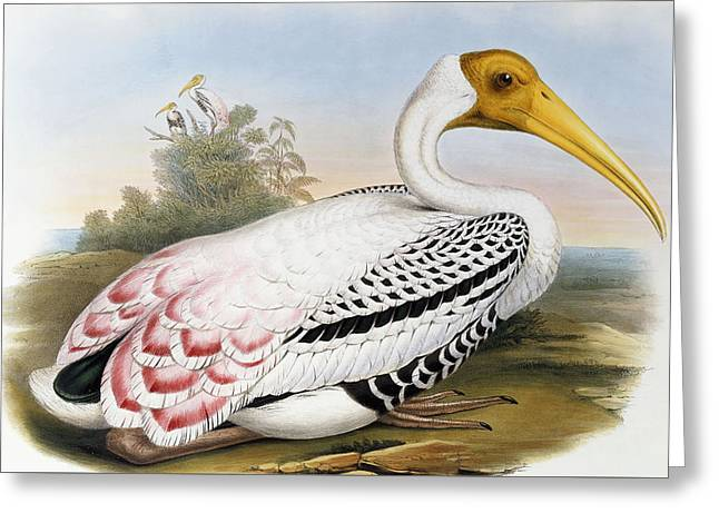 White-headed Ibis, Tantalus Leucocephalus Greeting Card by John Gould