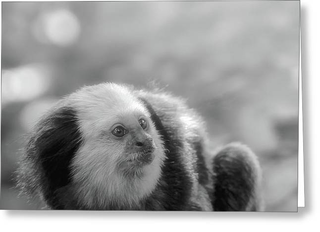 Primates Greeting Cards - White-headed Marmoset Greeting Card by Wim Lanclus