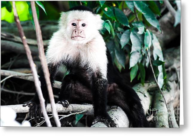 White Pyrography Greeting Cards - White-headed monkey  Greeting Card by Olga Photography