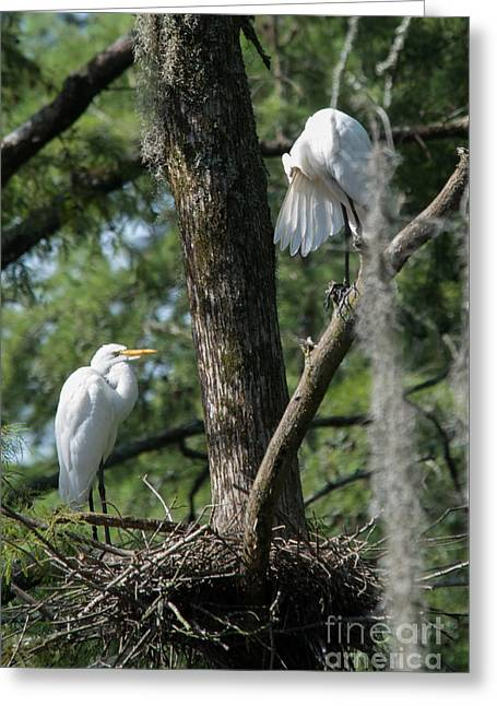 Wadingbird Greeting Cards - White Herons at Nest Greeting Card by Alicia Collins
