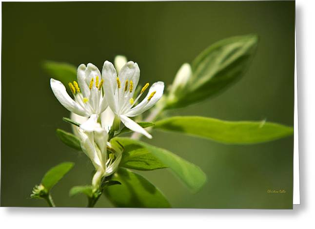 Framed Stamen Greeting Cards - White Honeysuckle Flowers With Green Background Greeting Card by Christina Rollo