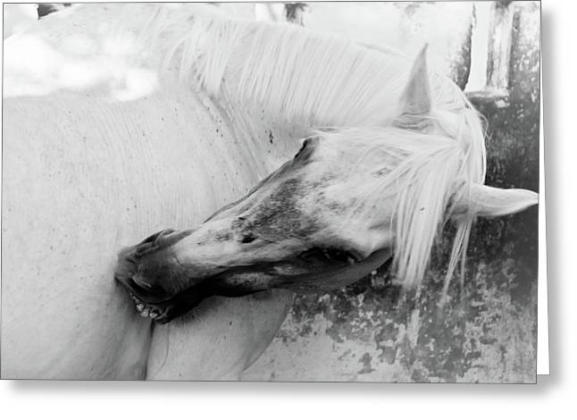 Old Western Photos Greeting Cards - White horse Greeting Card by Den Lity